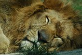 portrait of a sleeping lion poster