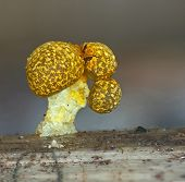 A fruit bodies of a slime mold, or myxomycete, Physarum polycephalum, look like a multi-head mushroom. Slime moulds are special organisms that gather from many microscopic unicellular amoebae. poster