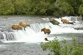 Brown Bears meeting at the falls to gather some fish. poster