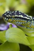 Wagler's pit viper, temple pit viper, bamboo snake, temple snake, speckled pit viper, snake of the Temple of the Azure Cloud poster