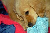 little golden retriever puppy gnawing a slipper closeup poster
