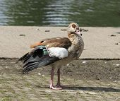 Feral Egyptian goose posing by the side of a lake. poster