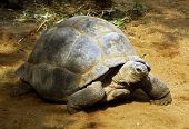Enormous South African Tortoise called the Bergskilpad poster