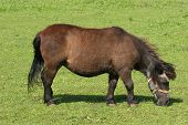 Pony in a pasture in early summer poster