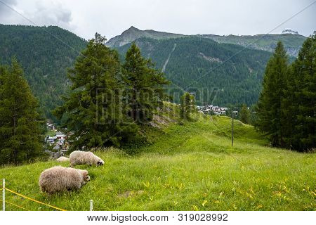 Two Black Nose Sheep Grazing Near Valley Zermatt.