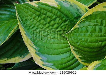 Green Bush Hosta. Hosta Leaves. Nature Background Image. Beautiful Hosta Leaves Background.