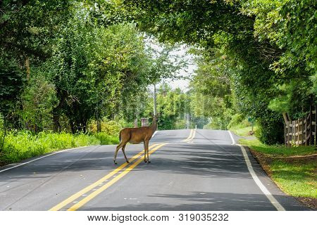 White Tail Deer (odocoileus Virginianus) Standing In The Middle Of A Pennsylvania Road. Pennsylvania