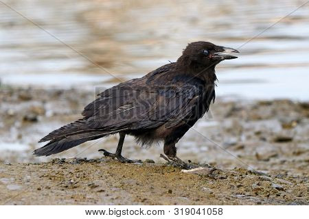A Young Carrion Crow Calling From A Tidal Mud Flat
