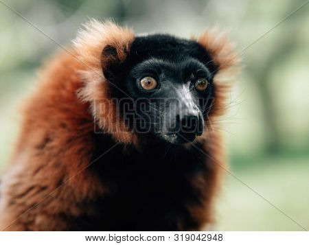 Red ruffed lemur portrait in rainforest