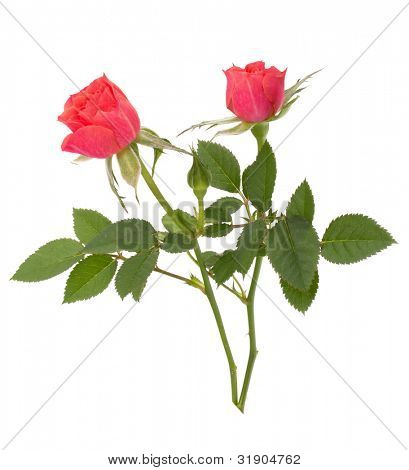 Beautiful rose pair  isolated on white background