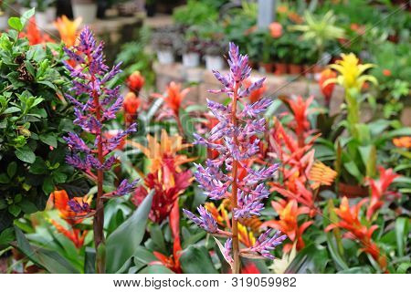 Beautiful Flowering Tropical Exotic Bromeliaceae In A Greenhouse