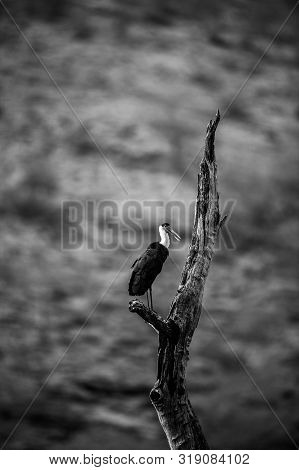 Asian Woolly Necked Stork Or Asian White Necked Stork Bird Pair On A Dead Tree Perch With Beautiful