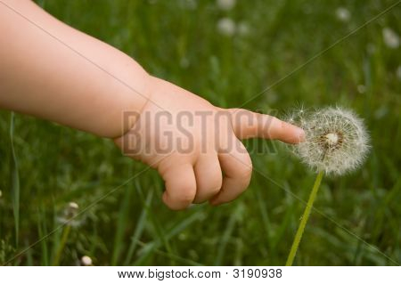 child touch a dandelion with his finger poster