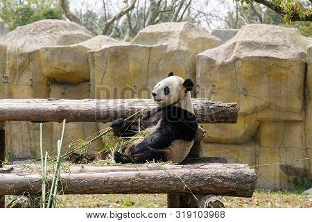 Panda Bear Sitting In Tree In Zoo And Eating Bamboo