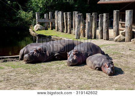 Frederiksberg, Denmark - August 25, 2019: Group Of Hippos In The Outdoor Area In Copenhagen Zoo.