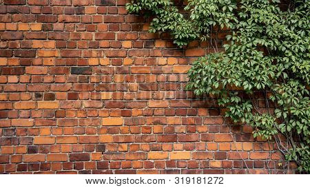 Climbing Plant, Green Ivy Or Vine Plant Growing On Antique Brick Wall Of Abandoned House. Retro Styl