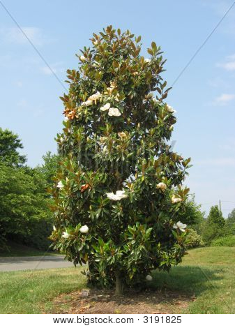 Southern Magnolia Tree In Bloom