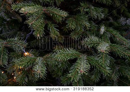 Deep Green Conifer Branches Closeup. Natural Backdrop Of Spruce Tree Needles And Shiny Christmas Lig
