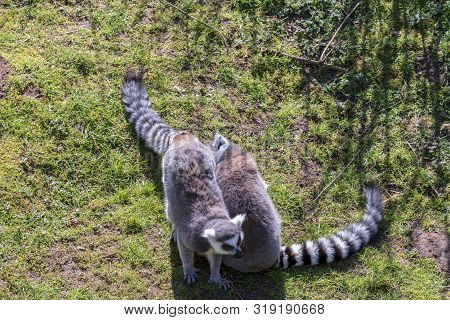 Lemurs Chilling Out In The Sun, Enjoyin Good Weather