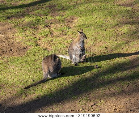Kangaroo And Her Baby In Her Pocket