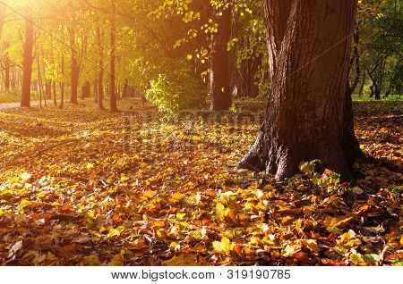 Fall forest landscape. Fallen fall leaves covering the ground and forest fall trees under soft sunlight, colorful sunny fall forest nature. Forest fall,forest fall yellowed trees in sunny fall evening