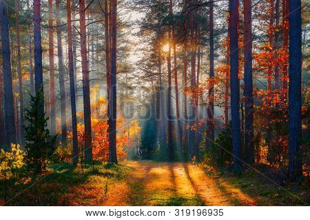 Autumn Scenic Nature. Fall Forest Landscape. Forest Sunlight. Sun Shines Through Autumn Trees.