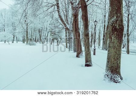 Winter landscape with snowy winter trees along the winter park alley - winter snowy scene, cold tones applied. Cloudy winter landscape forest scene