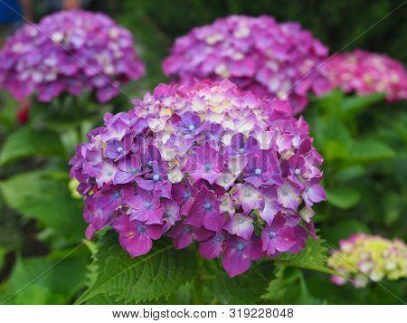 Hydrangea Flowers Bush. Pink Hydrangea. Home Garden Of Hydrangea. Beautiful Blooming Of Macrophylla