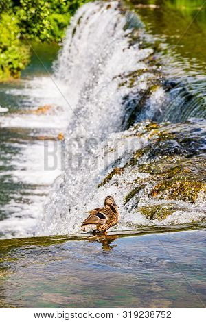 Duck Sitting By The Water Cascade, Jajce, Bosnia And Herzegovina