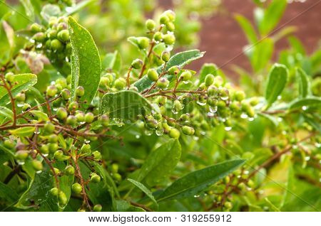 Privet Hedge With Unripe Green Berries With Water Drops On Rainy Day