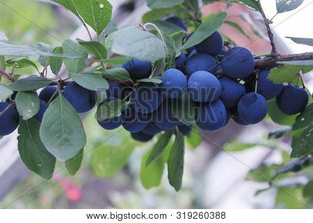 Prunus Spinosa. The Branch Of The Blue Plums. The Sloe Is Growing In The Rural Garden. The Blackthor