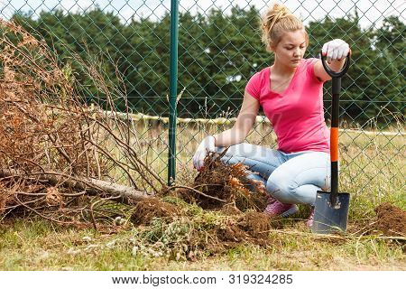Woman Gardener Digging Hole In Ground Soil With Shovel For Removal Withered Dried Thuja Tree From He