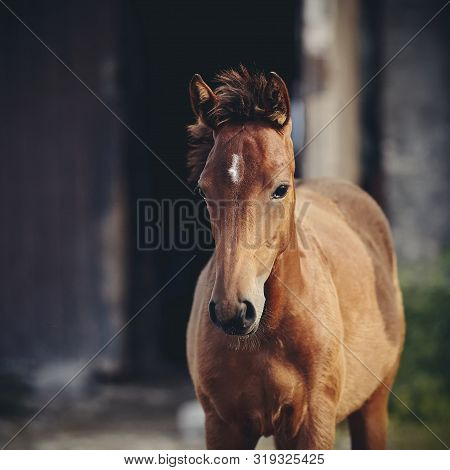 Portrait Of A Red Foal Sporting Breed With An Asterisk On His Forehead Against The Entrance To The S