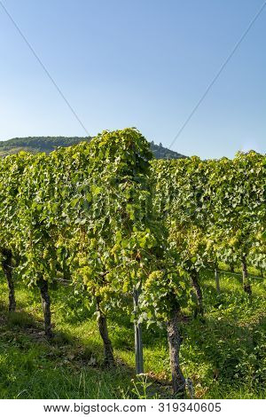 Vineyard With Growing White Wine Grapes, Riesling Or Chardonnay Grapevines In Summertime