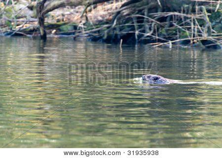 Swimming beaver in Dutch Biesbosch water