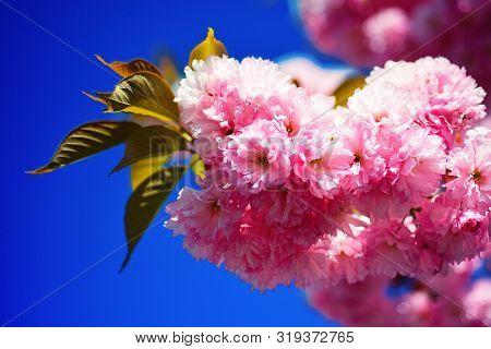 Cherry Blossom. Spring Background. Beautiful Garden Flowers. Sacura Cherry-tree. Springtime. Spring