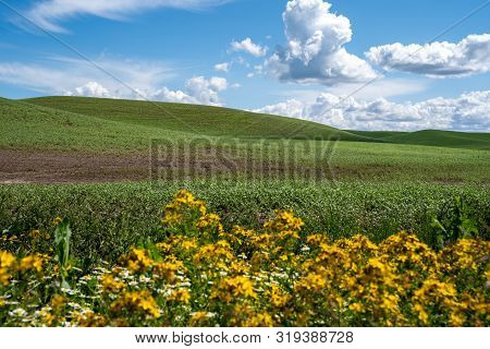 Rolling Green Farmland Hills Of The Palouse In Eastern Washington State. Yellow Wildflowers Blurred
