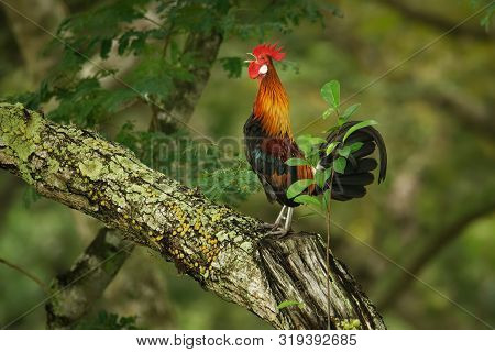 Red Junglefowl - Gallus Gallus  Tropical Bird In The Family Phasianidae. It Is The Primary Progenito