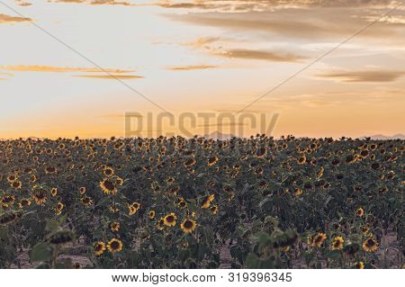 Beautiful Sunflower Field During The Golden Hour, Bokeh Blurred Style