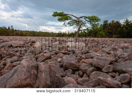A Single Tree Stands Out In The Middle Of Boulder Field At Hickory Run State Park, Pennsylvania.