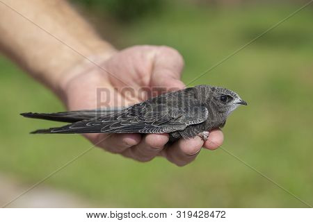 The Man Hand Holds The Swifts Found In Order To Let Go, Close Up. Newborn Swift In Human Arms . Care