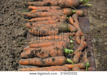 Fresh Juicy Carrots Without Tops On The Ground. Close-up Of A Large Unwashed Carrots On Ground Backg