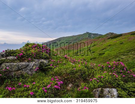 Pink Rose Rhododendron Flowers (in Front) On Summer Mountain Slope And Pip Ivan Mount Peak Behind. C
