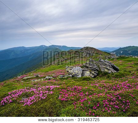Pink Rose Rhododendron Flowers On Summer Mountain Ridge, Carpathian, Chornohora, Ukraine.