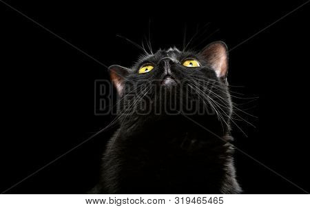 Black domestic cat looking up isolated on a dark background