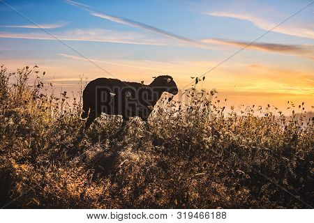 Close Up Of Sheep In Sunrise In Nature. Amazing Nature. Close Up Of A Sheep In Nature. Sheep In Sunr