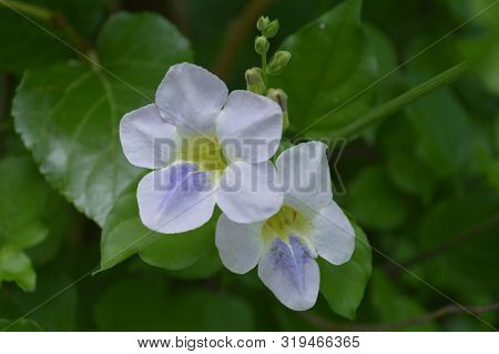 Chinese Violet Flower (asystasia Sp.) From Central Of Thailand