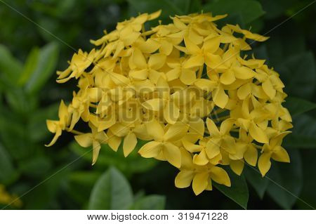 Yellow West Indian Jasmine (ixora Sp.) From Central Of Thailand