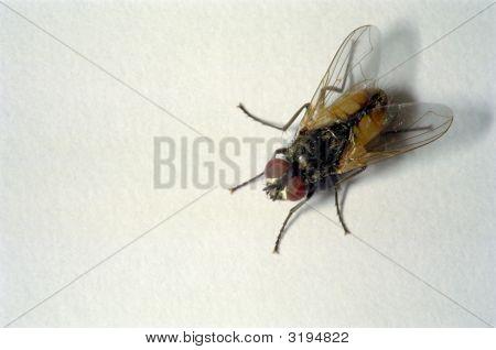 House Fly