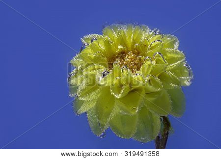 Beautiful Yellow Flower Astra Under Water Covered With Bubbles Macro